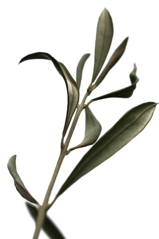 olivo-olivaresdejaen